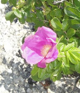 image of a beach rose