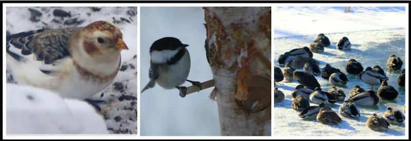 Snow Bunting, Black-capped Chickadee, Mallards