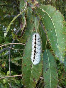 Caterpillar (1)