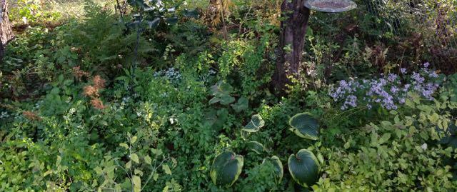 Hosta, astilbe, mint, and a few weedy friends.